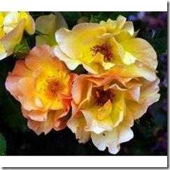rosebush