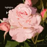 how to paint a rose painting class