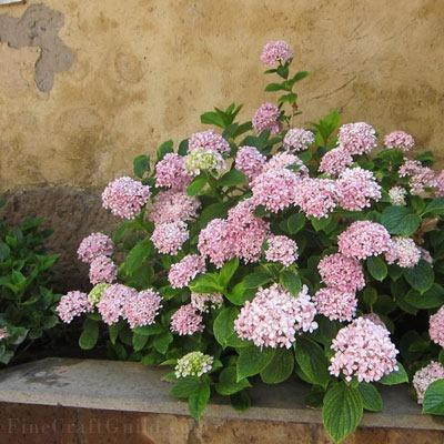 Step-by-Step How to Grow Hydrangeas