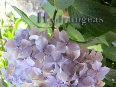 hydrangeas violet