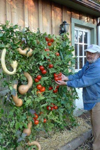 vertical gardening tomatoes pumpkins
