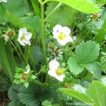 http://www.finecraftguild.com/wp-content/uploads/2014/06/strawberries_growing_tips.jpg