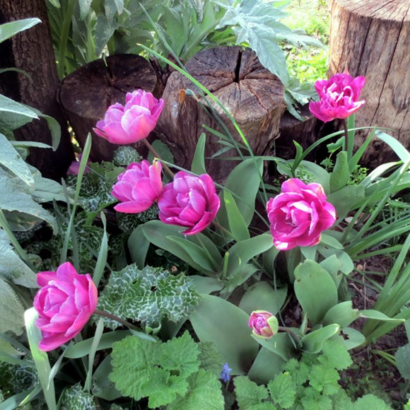 tulips_nextto_yarnbomb